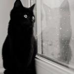 черный кот смотрит  в окно